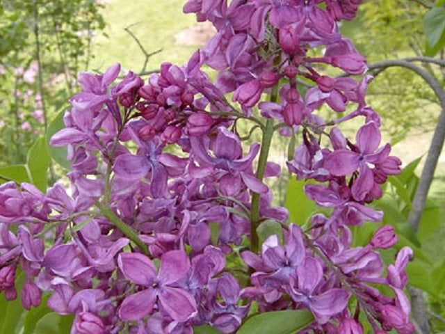 Lilac 'Purple Glory'