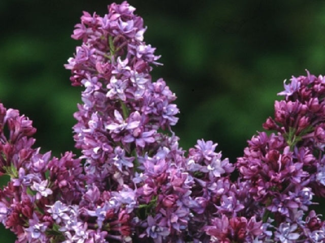 <span class='latin_name'>Syringa x hyacinthiflora</span> 'Royal Purple'