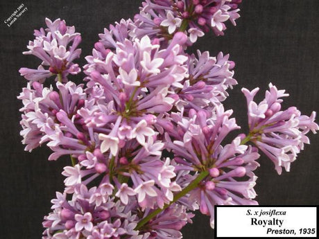 <span class='latin_name'>Syringa (Villosae Group)</span> 'Royalty'