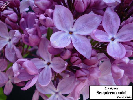 Lilac 'Sesquicentennial'