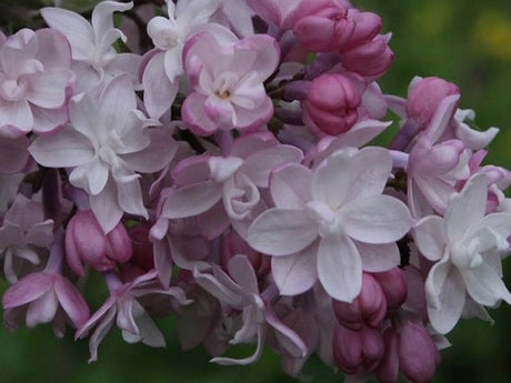 Lilac 'Sweetheart'