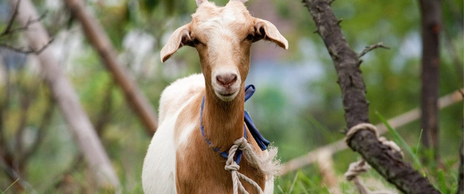 Argan oil, the Berber women, and tree climbing goats