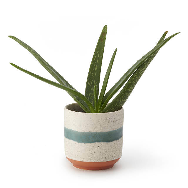 Aloe Vera - Green Accent Planter