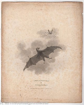 TERNATE & LONG EARED BATS EARLY ETHOLOGY NATURISTS ANTIQUE ENGRAVING PRINT - K-townConsignments