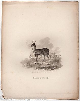 TIBETIAN MUSK DEER EARLY ZOOLOGY ANTIQUE GRAPHIC ART ENGRAVING PRINT LONDON 1802 - K-townConsignments
