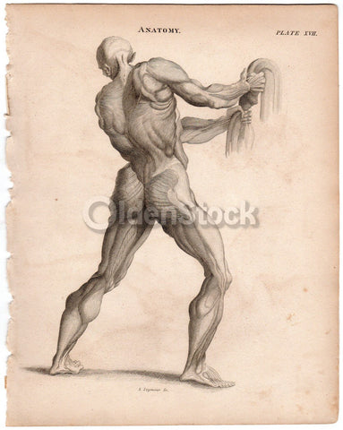 Male Muscular Anatomy Drawing Calf Butt and Back Antique Graphic ...