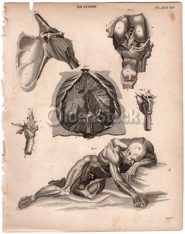 Male Penis Groin Testicles Medical Anatomy Drawing Antique Graphic