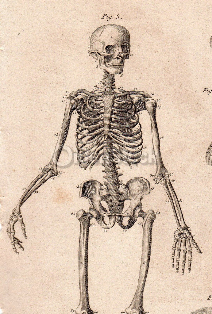 Male Skeleton Skeletal System Anatomy Drawing Antique Graphic Engravin K Townconsignments