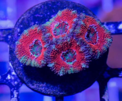 Aussie Red Center Teal Skirt Acan (WYSIWYG)