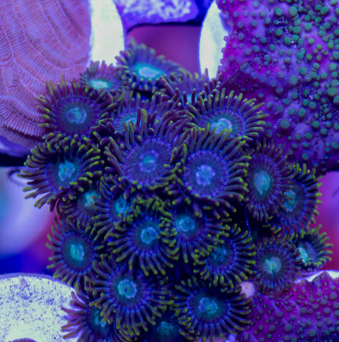 Yellow Skirt Zoas (WYSIWYG)