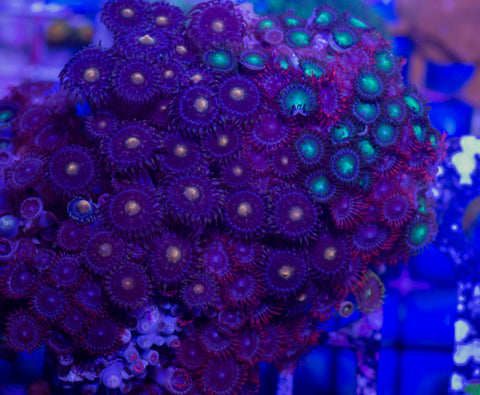 Mixed Zoa Colony (WYSIWYG)