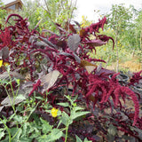 Love-Lies-Bleeding Amaranth