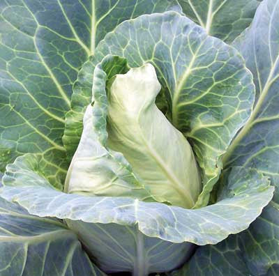 Wakefield Early Cabbage
