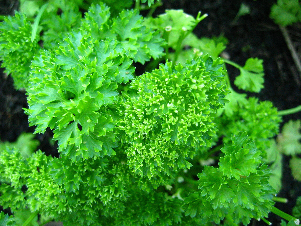 Forest Green Parsley