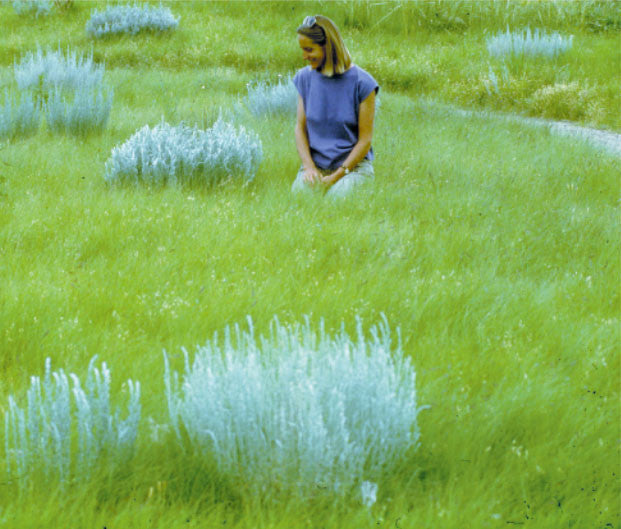 Summer Green Lawn Blend Plants Of The Southwest