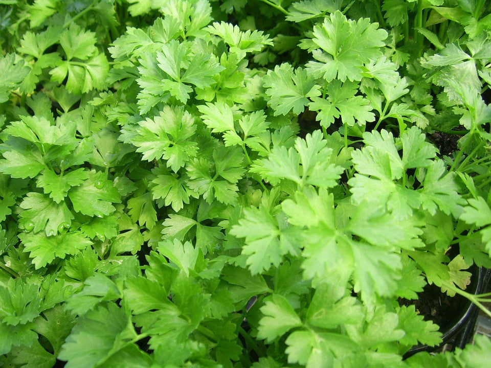 Italian Dark Green Parsley
