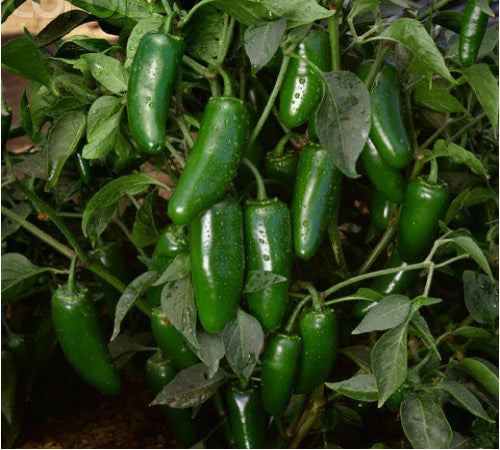 Early Jalapeno Chile