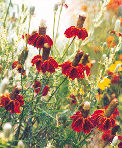 Ratibida columnifera red
