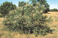 Purshia tridentata
