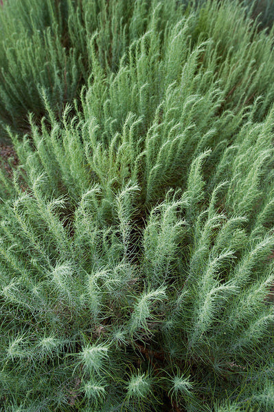 Trees & Shrubs – Plants Of The Southwest