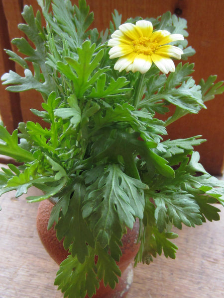 Shungiku, Edible Chrysanthemum