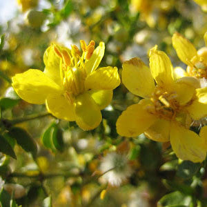 Trees shrubs plants of the southwest larrea tridentata mightylinksfo