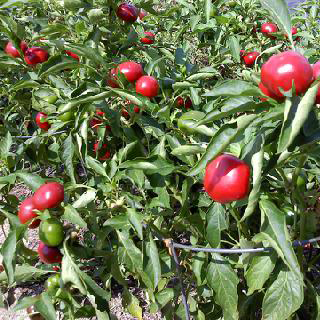 Hot Cherry Chile