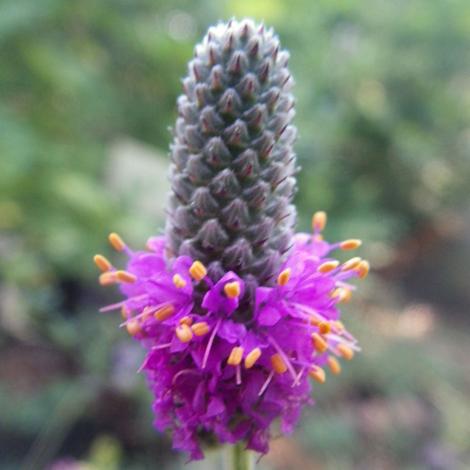 An Analysis Of The Purple Prairie Clover Flower Coursework Help