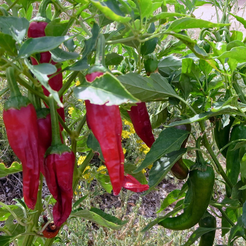 New Mexico R Naky Pepper