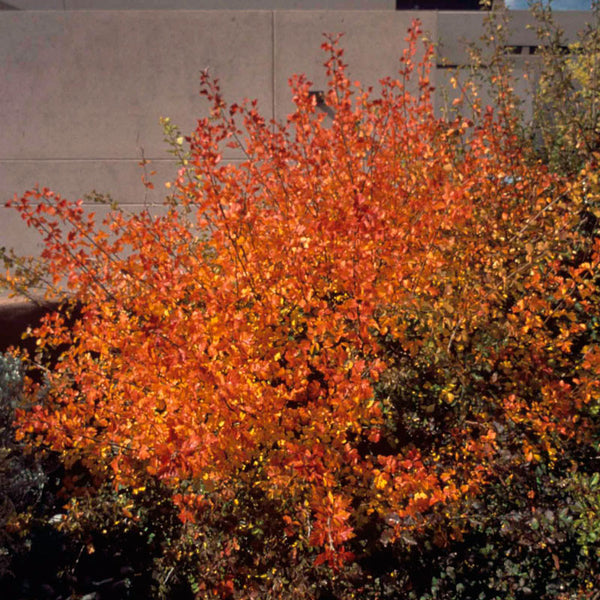 Trees shrubs plants of the southwest rhus trilobata mightylinksfo