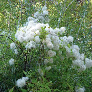 Trees shrubs plants of the southwest clematis ligusticifolia mightylinksfo