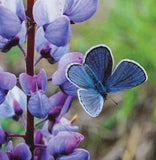 Endangered Karner Blue butterfly with Wild Lupine