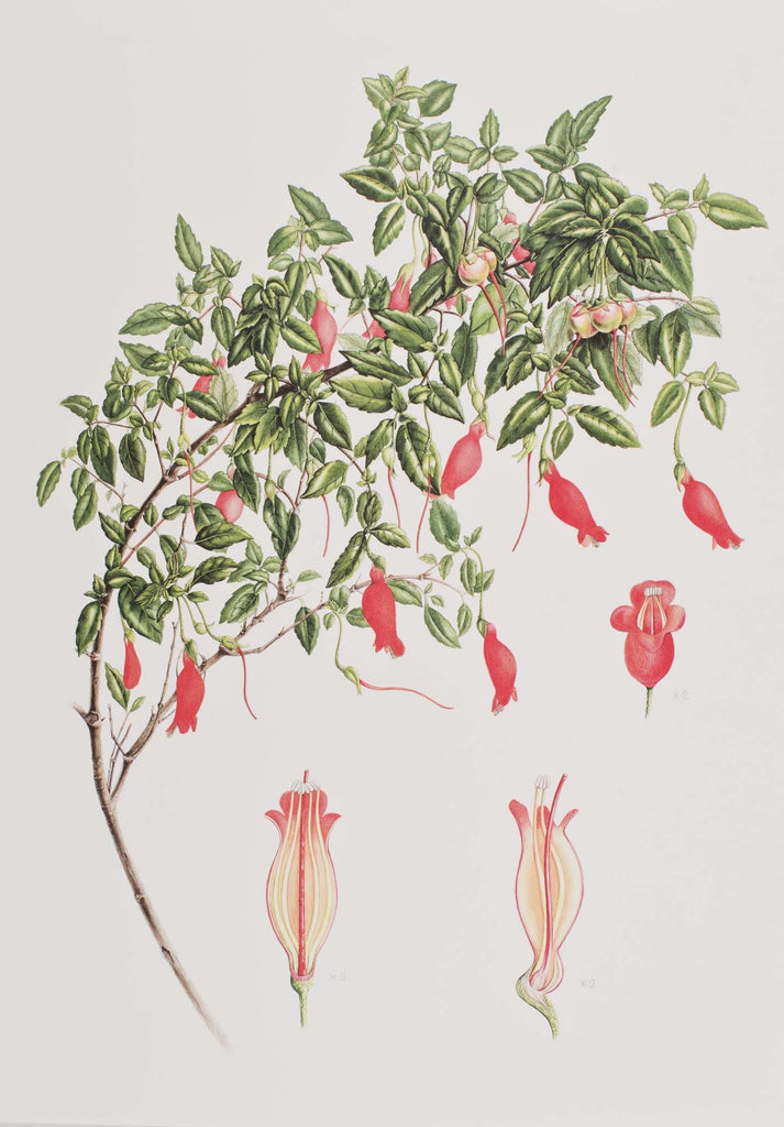 Plants from the Woods and Forests of Chile - 9 Prints