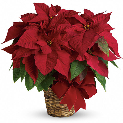 Red Poinsettia - Giving Blooms