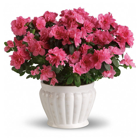 Pretty in Pink Azalea Plant - Giving Blooms