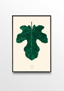 Ficus Carica ( Fig leaf )