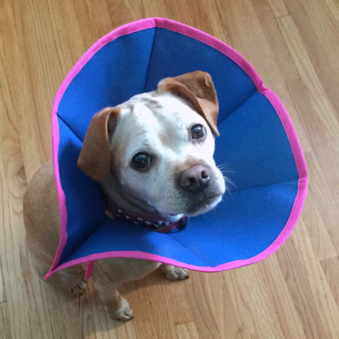 Gracie cute dog in a pink and blue cone