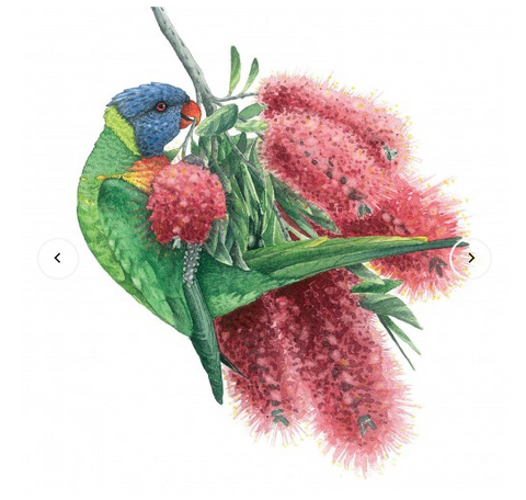 Greeting Card - Matteo Grilli - Rainbow Lorikeet