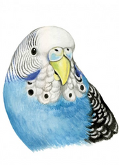 Greeting Card - Female Budgies Maxine_2