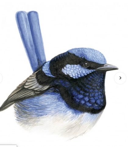 Greeting Card - Bluewren Maxine_6