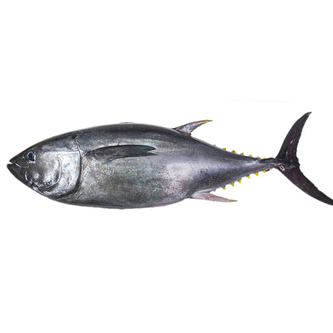 Bluefin Tuna - Whole Body