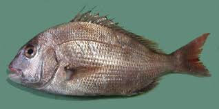Red Sea bream - Madai