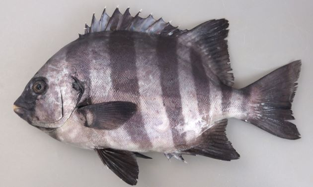 Striped Beakfish - Ishidai