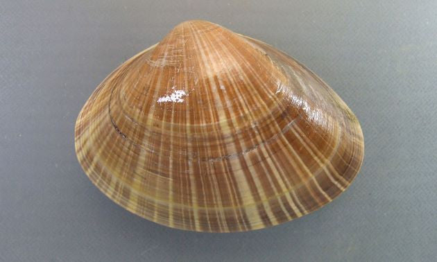 Hard Clam - Bakagai