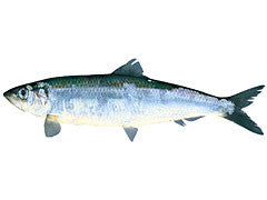 Pacific Herring  -  Nishin
