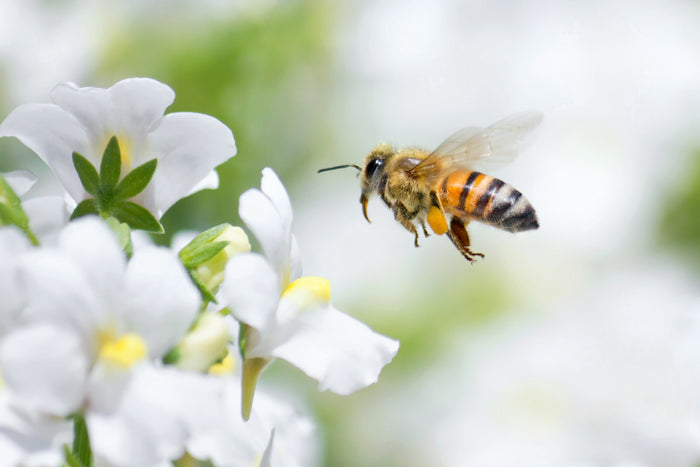 Use organic Pyrethrin insecticides while decreasing the risk to bees and other beneficial insects