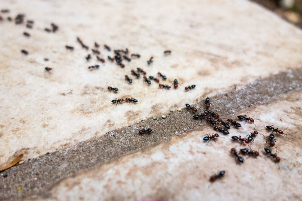 Colony of Ants crawling on concrete floor