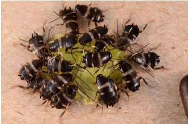 Group of Australian Cockroaches