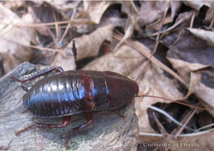 Adult Florida Woods Cockroach