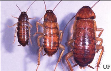 Image showing the lifecycle of an American Roach. Nymphs and Adults.